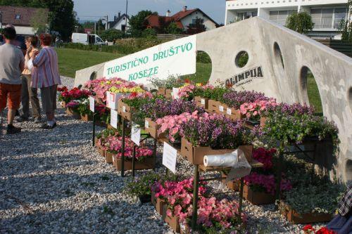 Delitev sadik cvetja ob Koseškem bajerju